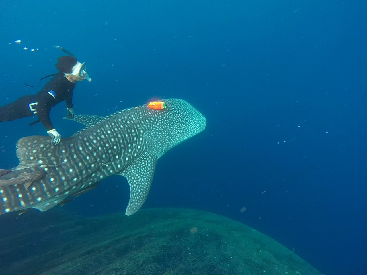 The whale sharks were released into the wild,were attached behavioral records and thermometers.