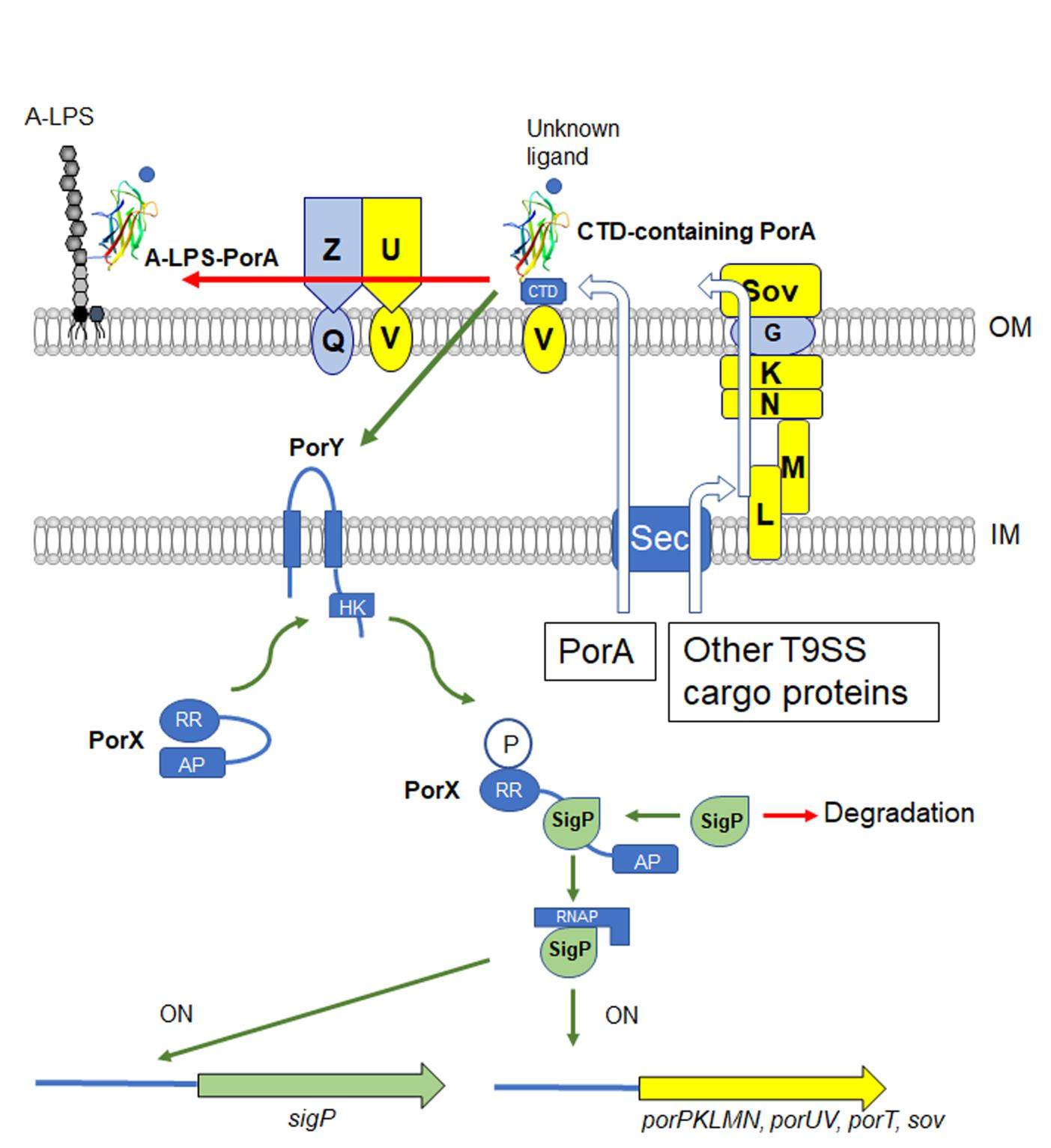 Fig. 1. Proposed model of regulation of the T9SS gene expression in P. gingivalis.