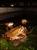 池で産卵するニホンヒキガエル