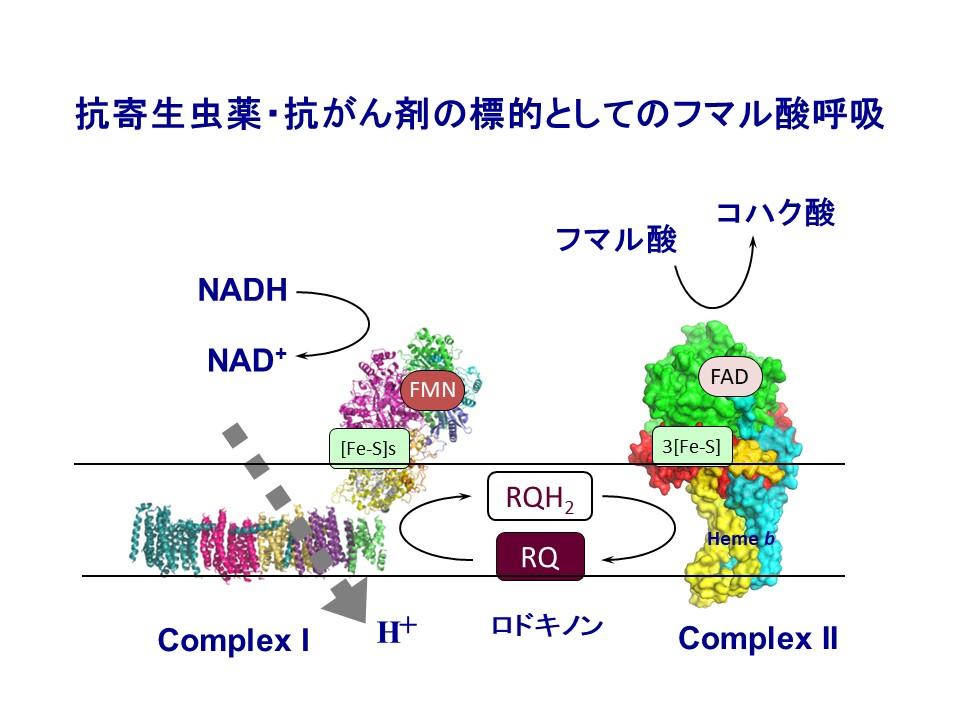 フマル酸呼吸(図)
