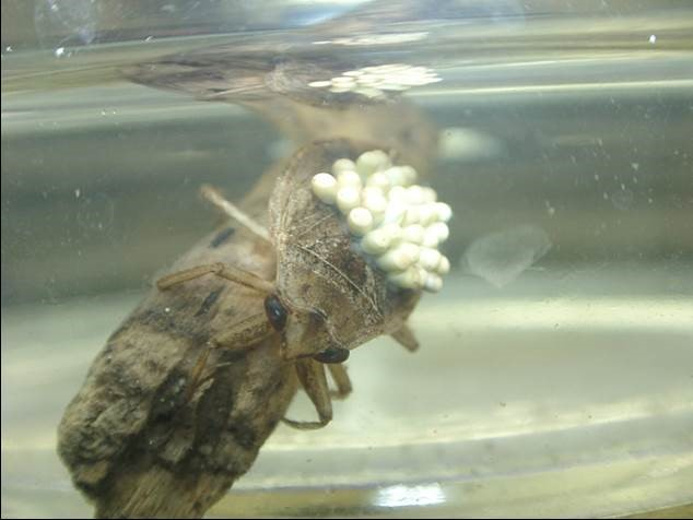 背中で卵塊を保育するコオイムシのオス