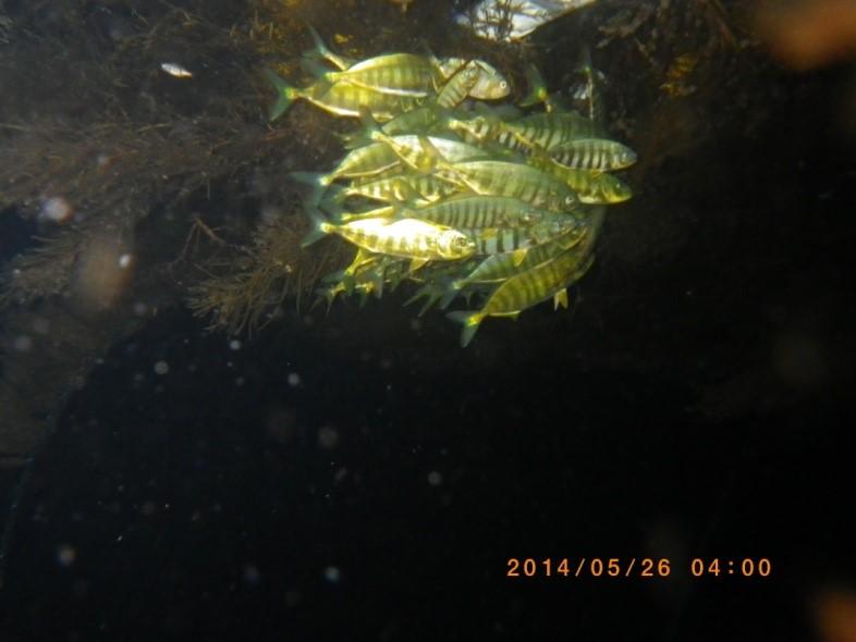 夜間に流れ藻直下で密着し合うブリ属稚魚