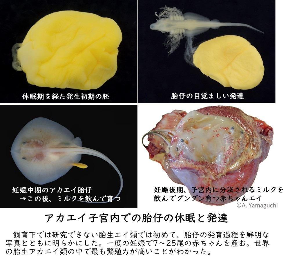 アカエイ子宮内での胎仔の休眠と発達