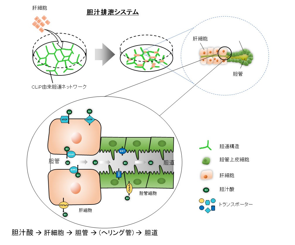 胆汁排泄システム