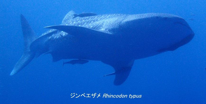 ジンベエザメ Rhincodon typus