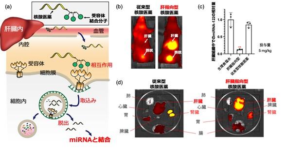 miRNA-122に対する肝臓指向型小さな核酸医薬